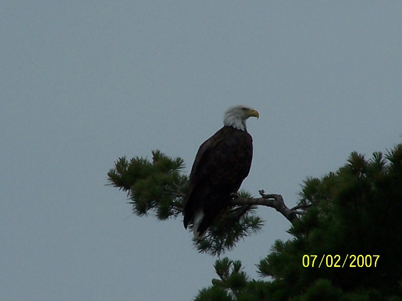 Eagles  are a regular site here